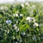 Read More: Sugar snap peas and summer weight loss