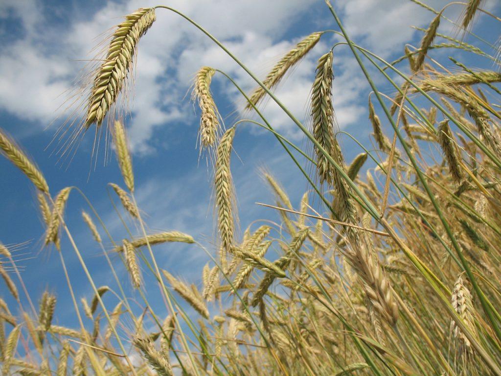 Wheat field - Gluten