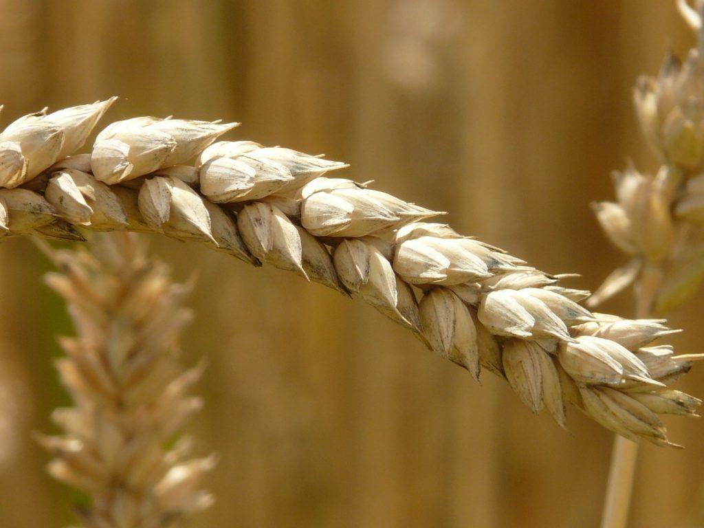 Wheat kernels - gluten